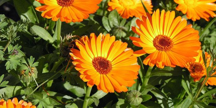 Körömvirág a látáshoz