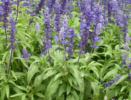 Zsálya (Salvia officinalis)