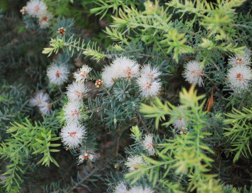 Ausztrál teafa és teafaolaj (Melaleuca alternifolia)